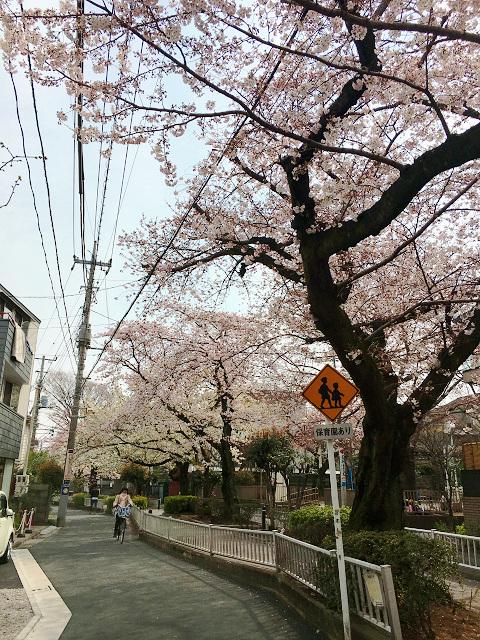 2016年3月30日満開になった東京桜4 by占いとか魔術とか所蔵画像
