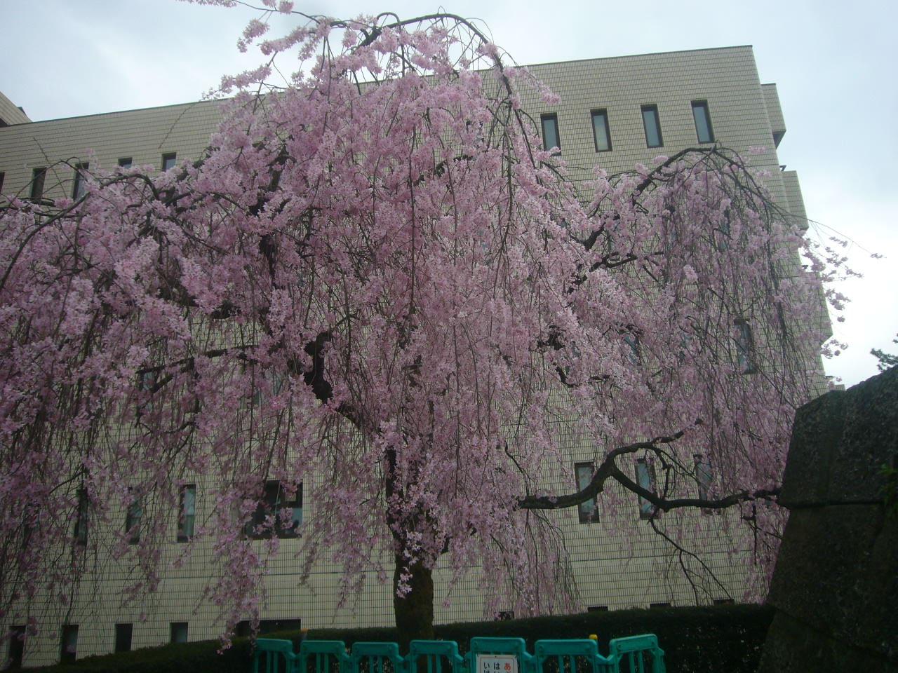 福井城址北天守 しだれ桜 H28.4.3