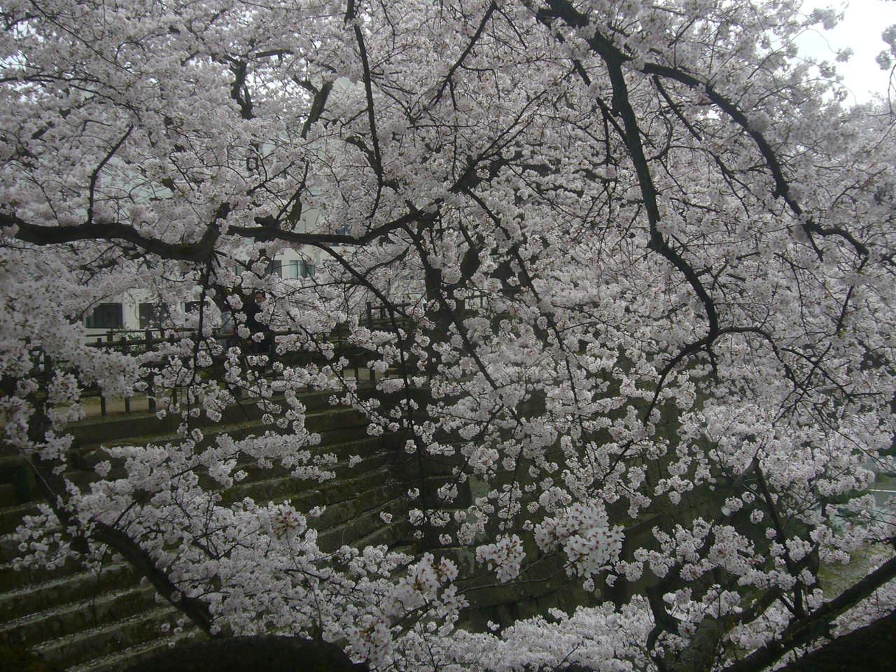 福井城址南天守 桜 H28.4.3
