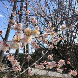 梅の花21日
