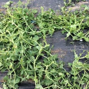 被害に遭ったエンドウ豆