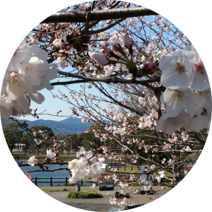 江津湖の桜2