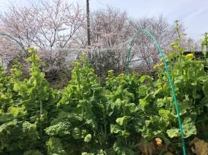 桜と菜の花のコラボ