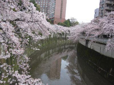 神田川と桜