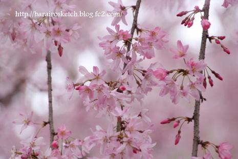 桜散歩27