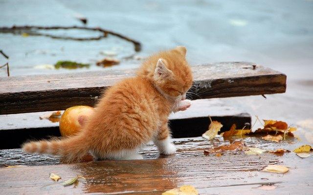 Autumn-orange-kitten_1920x1200.jpg