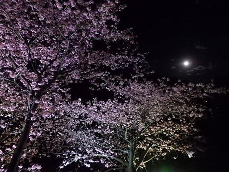 yosakura-b1.jpg