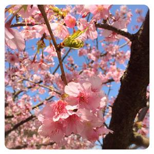 2016年河津桜