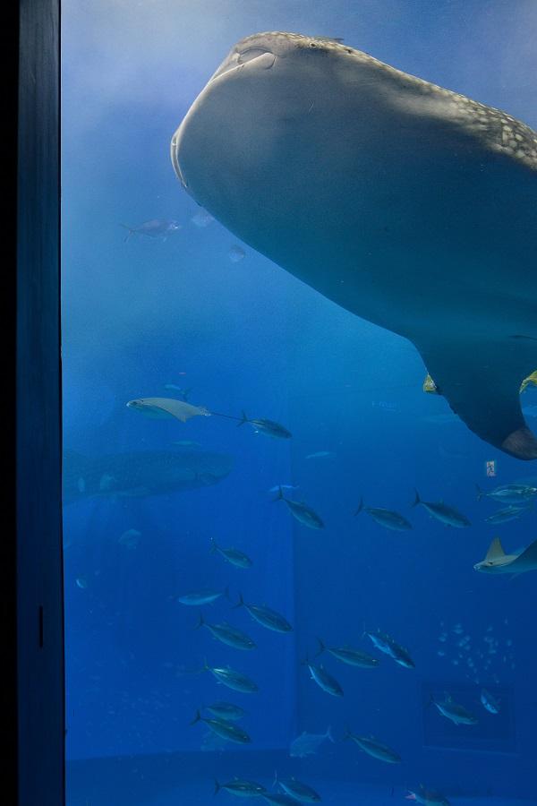 沖縄旅行記④:美ら海水族館(後編)