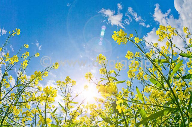 菜の花_春の輝き
