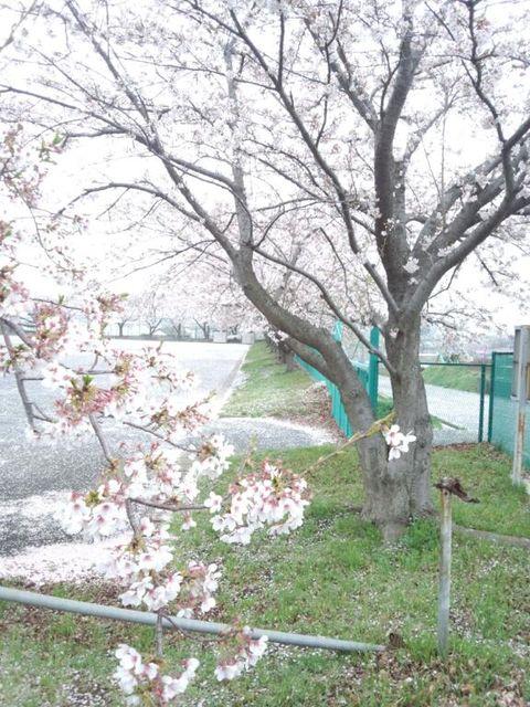 sakura large