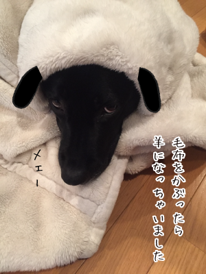 羊になったラブラドール