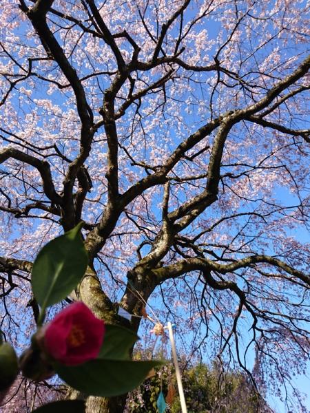 枝垂れ桜10