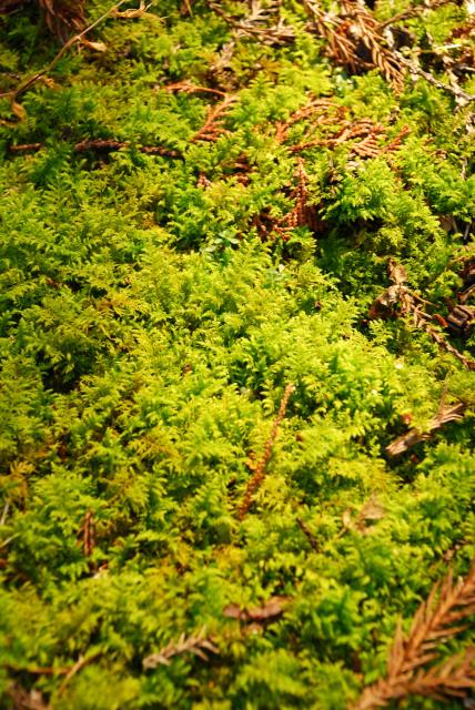 竜ヶ岳_金山尾根_登山道_鮮やかな緑色のコケ