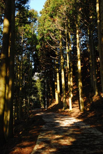 宇賀渓谷から登山口へ杉林を歩く