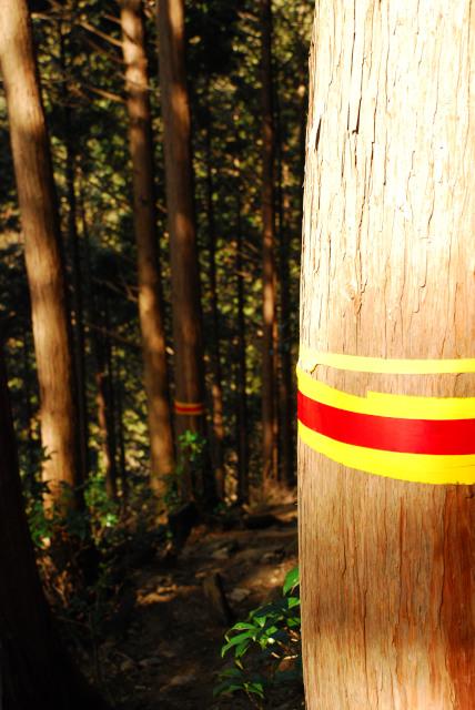 杉の幹に巻かれた黄色と赤色のテープ