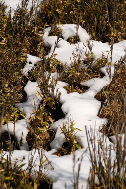 残雪の下から起き上る笹