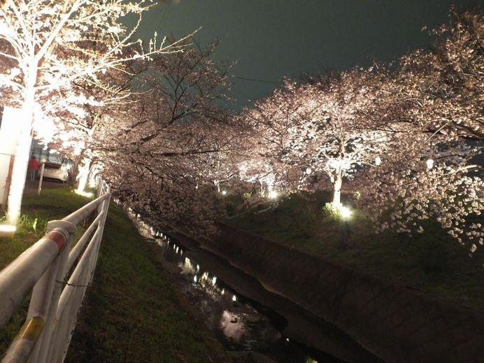 shibutasakura1.jpg