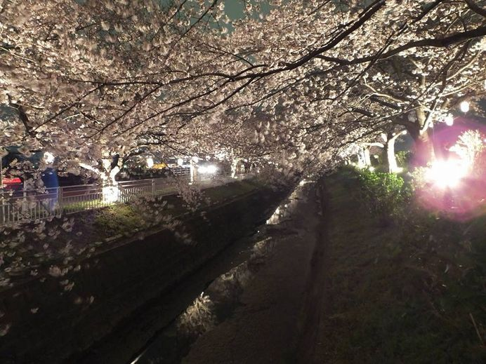 shibutasakura4.jpg