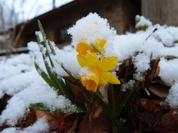スイセンもびっくり、雪