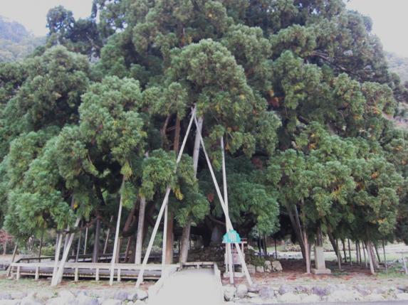 御仏供杉-1