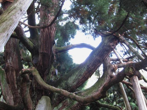 御仏供杉-2