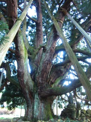 御仏供杉-3