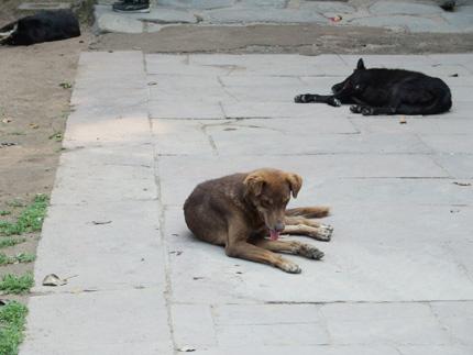 インド 犬