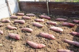 160328さつま芋の植え込み