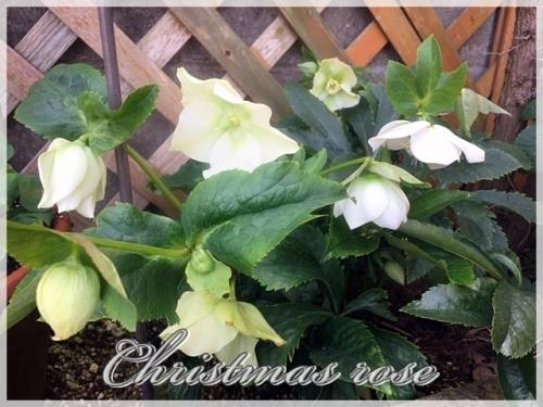 Christmas rose,
