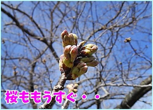 桜ももうすぐ