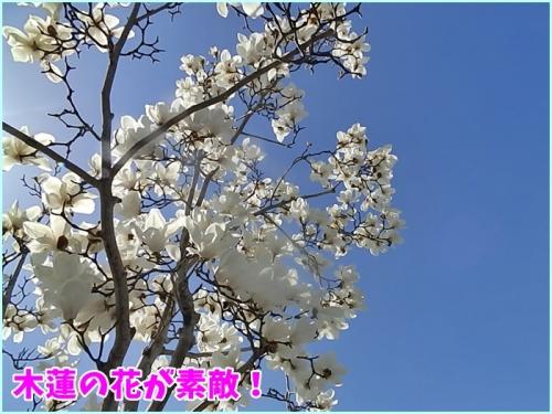 木蓮の花が