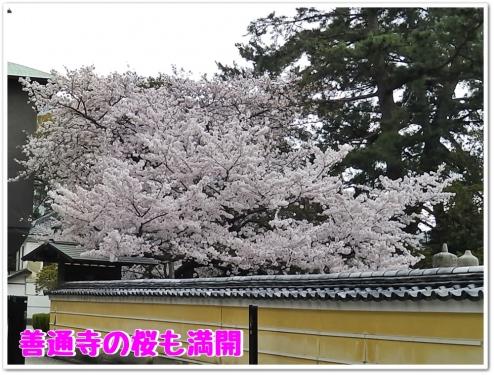 善通寺の桜も満開