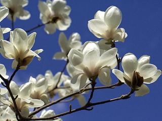 木蓮の花 f0085692_1494542VGA