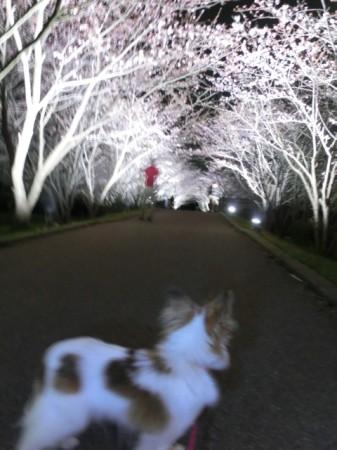 20160403_sakurasena02.jpg