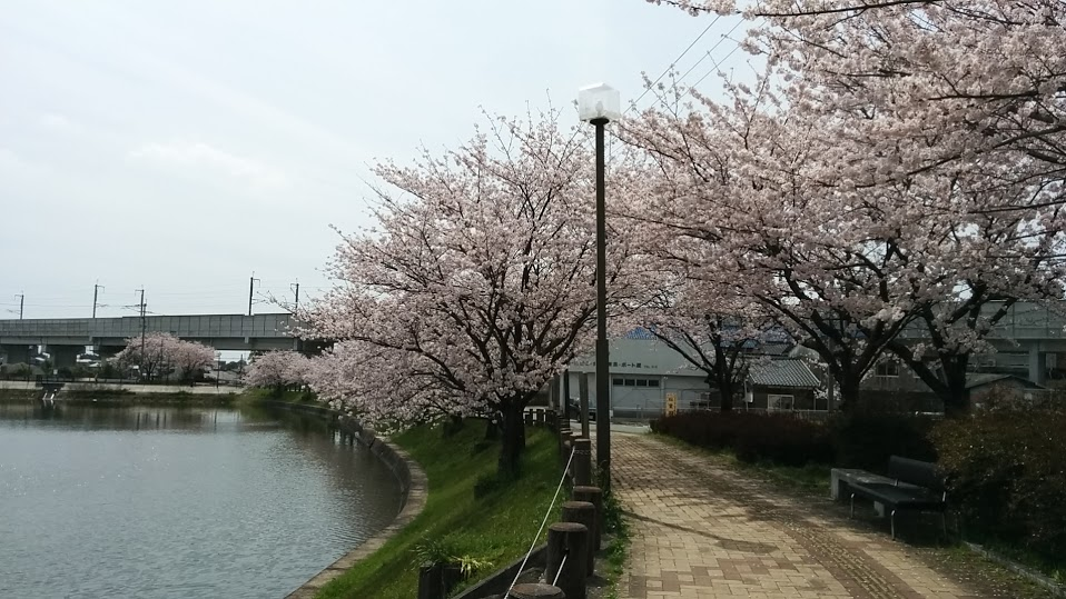 sakura-chikugo.jpg