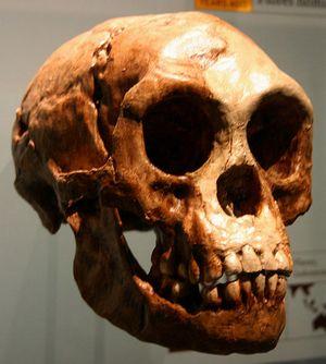 539px-Homo_floresiensis.jpg