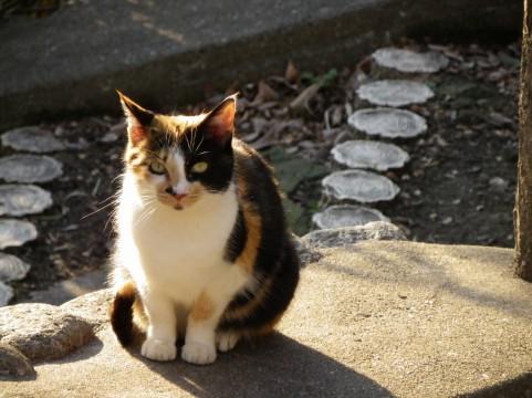 出雲大社で行方不明になった三毛猫が「神在祭」の日に「お告げ通り」に見つかリ話題に