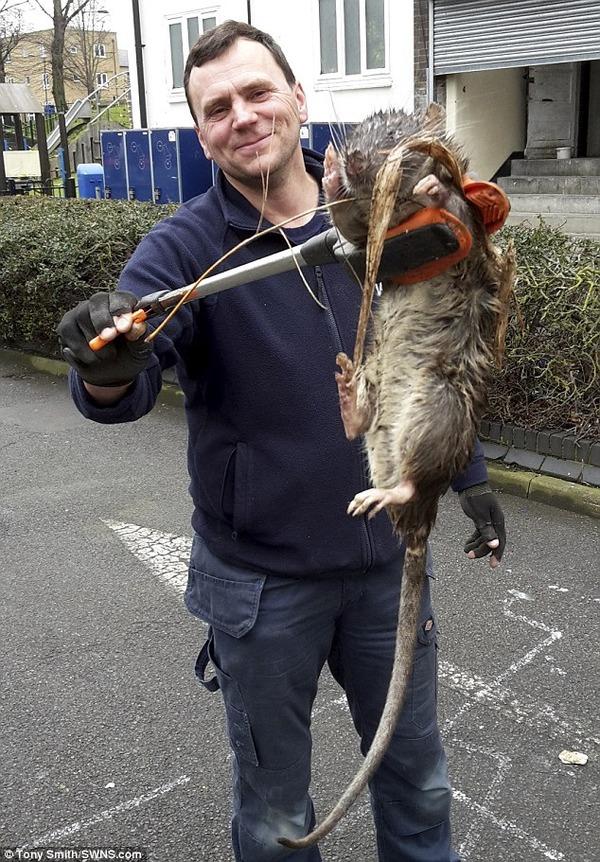1.2メートルもある「巨大ネズミ」がロンドンで発見される!