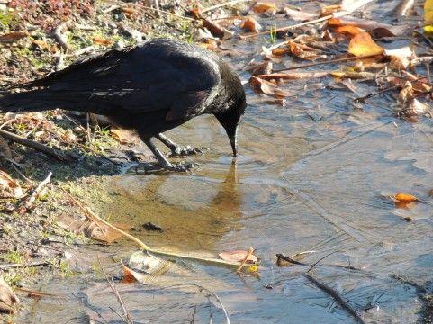 【原因不明】福島で新たに5羽の「カラス」の死骸が見つかる…先日と合わせると80羽に