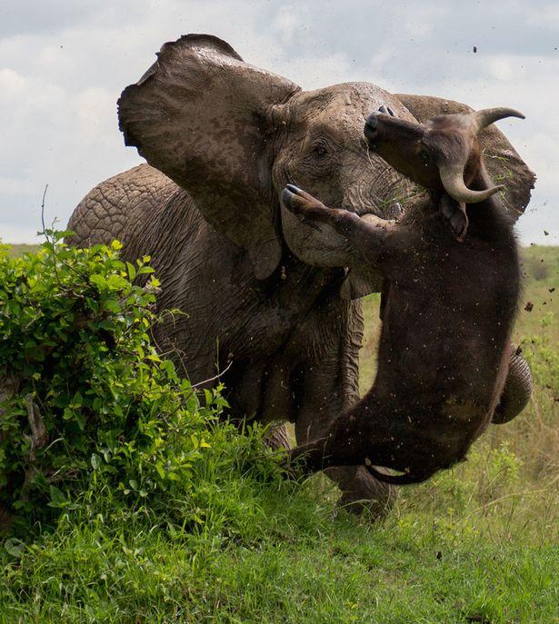 アフリカゾウ vs バッファロー → 500kgのバッファローが宙に浮く!子供を守る母親ゾウの怪力