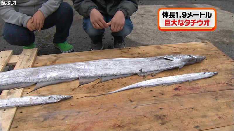 【三重県】通常の10倍以上の「タチウオ」が水揚げされる!漁業関係者「魚市場でも見たことがない。」