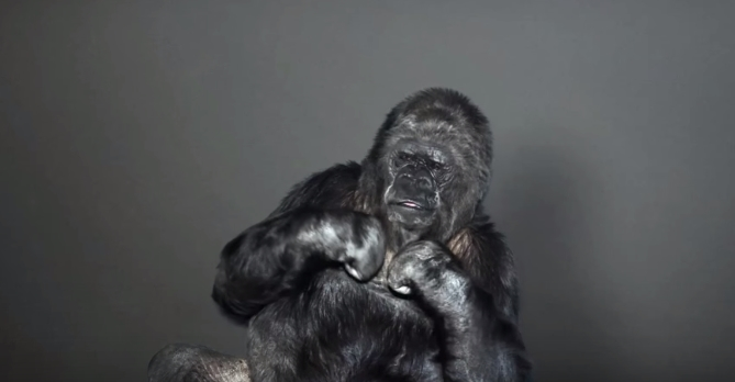 【動画】「地球を助けて下さい」 手話が出来る天才ゴリラ・ココから人類へのメッセージとは?