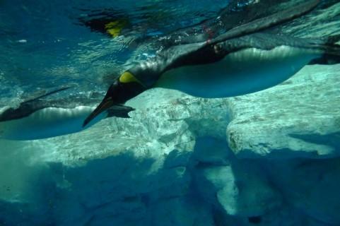 【南極】ペンギン15万羽が「巨大な氷山」に道を塞がれ餓死…神奈川県の面積より巨大
