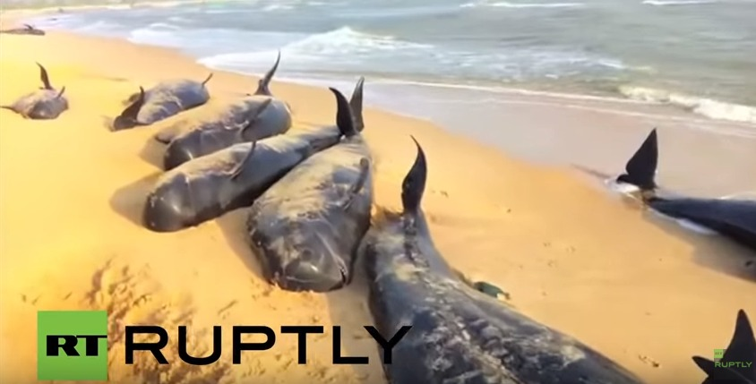 【前兆】インド南部の海岸で大量のクジラが打ち上がる…地元メディア「100頭以上」が座礁している