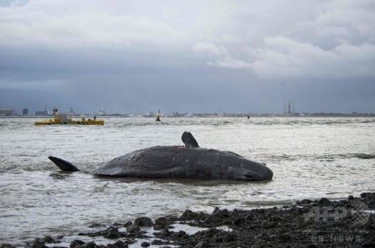 徳島県阿南市の海岸でクジラが打ち上がる…オランダでもクジラ7頭が海岸に座礁
