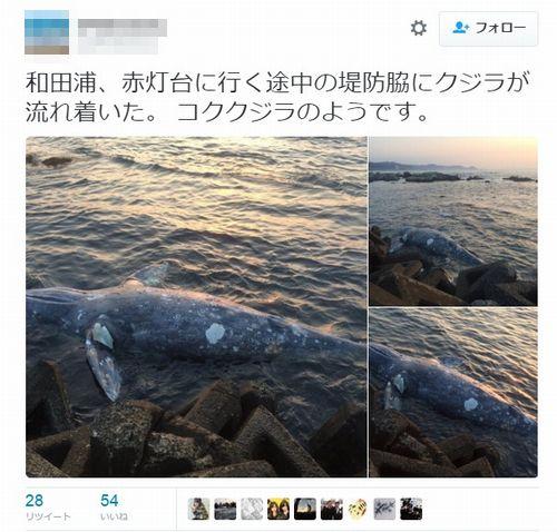 千葉県の南房総で「コククジラ」が打ち上げられる…専門家「打ち上げられるのは非常に珍しい」