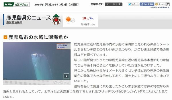 【鹿児島】滅多に見れない「深海魚テンガイハタ」が鹿児島湾に近い水路に出現!体長1メートル50センチ