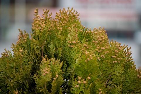 花粉症は撲滅できるの? → 林野庁「撲滅が何年後になるという単純な話ではない」