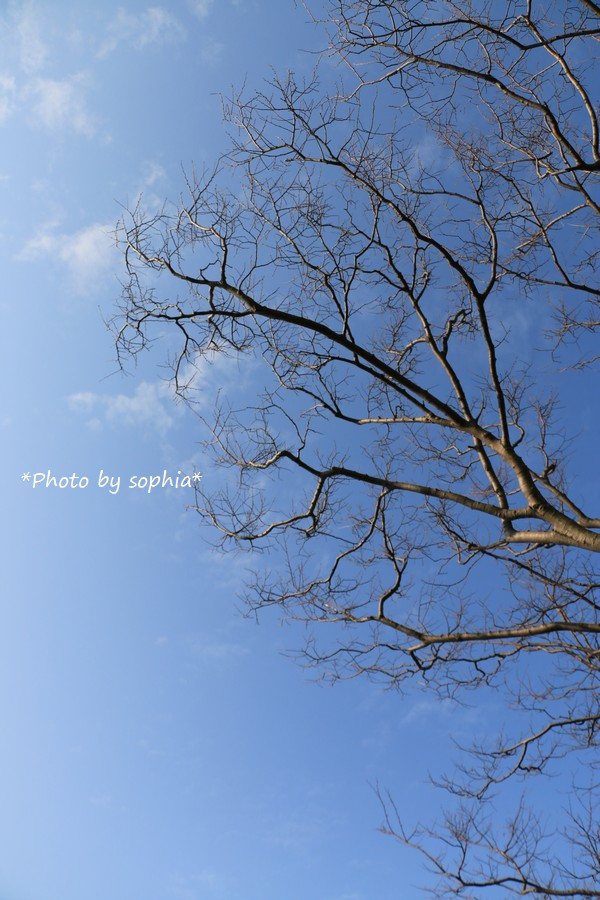 春待ち桜Ⅱ